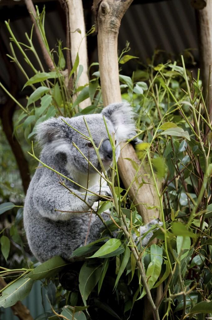 Koala on branch, eating eucalyptus